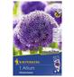 KIEPENKERL Zierlauch giganteum Allium-Thumbnail