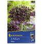 KIEPENKERL Zierlauch x Hybrida Allium-Thumbnail