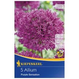KIEPENKERL Allium Purple Sensation, Lila, 5 Blumenzwiebeln