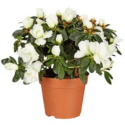 GARTENKRONE Azalee, Rhododendron simsii, weiß, Höhe: 40 - 60 cm