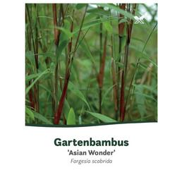 Bambus murielae Fargesia »Asian Wonder«