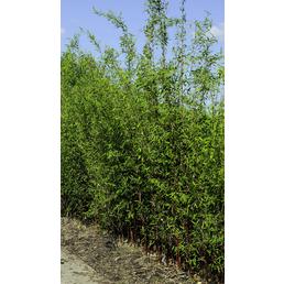 Bambus murielae Fargesia »Panda«