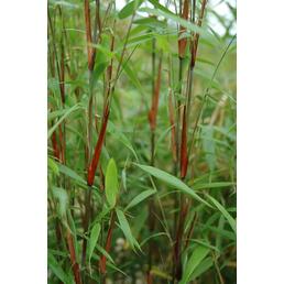 Bambus scabrida Fargesia »Asian Wonder«