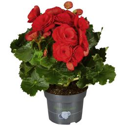 GARTENKRONE Begonie, Begonia elatior, Blüte: rot