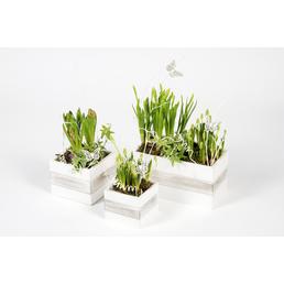 GARTENKRONE Bepflanztes Arrangement, Holzwürfel mit Frühlingsblühern