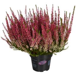 Garden Girls Besenheide, Calluna vulgaris , max. Wuchshöhe: 30 cm, Blüte: mehrfarbig