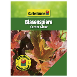 GARTENKRONE Blasenspiere, Physocarpus opulifolius »Center Glow«, Blütenfarbe creme