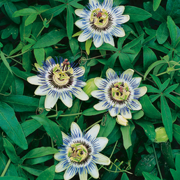 GARTENKRONE Blaue Passionsblume, Passiflora caerulea, Blüten: blau