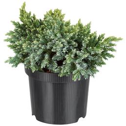 Blauer Zwergwacholder, Juniperus squamata »Blue Star«, winterhart
