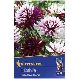 KIEPENKERL Blumenzwiebel Dahlie, Dahlia Hybrida, Blütenfarbe: mehrfarbig