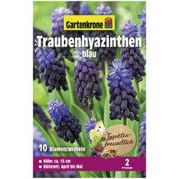 GARTENKRONE Blumenzwiebel »Gartenkrone Muscari Latifolium«