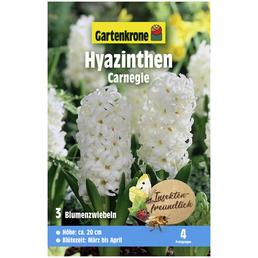 GARTENKRONE Blumenzwiebeln Hyazinthe, Hyacinthus orientalis »Carnegie«, Blütenfarbe: weiß