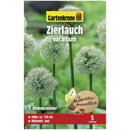 GARTENKRONE Blumenzwiebeln Zierlauch, Allium hirtifolium »Var. Album«, Blütenfarbe: weiß