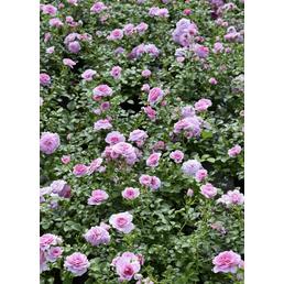 Bodendeckerrose Rosa »in Sorten«
