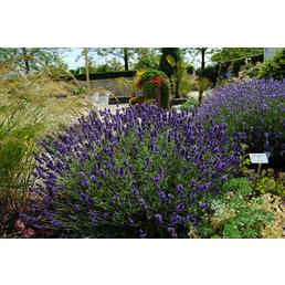 GARTENKRONE Echter Lavendel, Lavandula angustifolia, violett, winterhart