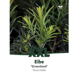 Eibe Taxus media »Grönland«