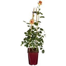 GARTENKRONE Exklusive Rosen, Exklusive Rosen »in Sorten«, bunt, winterhart