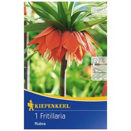 KIEPENKERL Fritillaria Rubra, Orange, 1 Blumenzwiebel