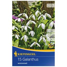 KIEPENKERL Galanthus Woronowii, Weiß, 15 Blumenzwiebeln