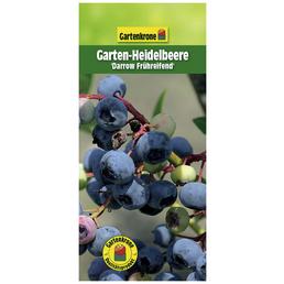 GARTENKRONE Garten-Heidelbeere Vaccinium corymbosum »Darrow«