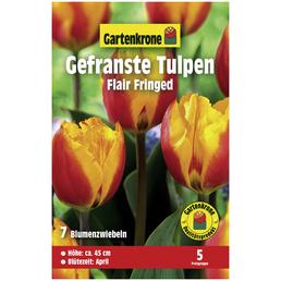 GARTENKRONE Gefranste Tulpe Tulipa X hybrida »Flair Fringed«, zweifarbig