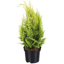 Gelbe Gartenzypresse, Chamaecyparis lawsoniana »Ivonne«, winterhart