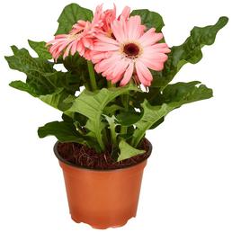 GARTENKRONE Gerbera, Gerbera hybrid, Blüte: rosa/pink