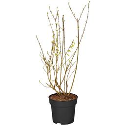 GARTENKRONE Goldglöckchen, Forsythia intermedia »Lynwood«, Blütenfarbe gelb