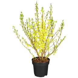 GARTENKRONE Goldglöckchen, Forsythia intermedia »Week End«, Blütenfarbe gelb