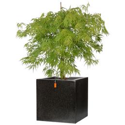 GARTENKRONE Grüner Schlitzahorn, Acer palmatum »Dissectum Viridis«, winterhart