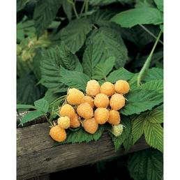 GARTENKRONE Himbeere, Rubus idaeus »Golden Everest« Blüten: weiß, Früchte: gelb, essbar