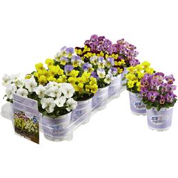 Volmary® Hornveilchen, Viola cornuta »Ice Babies«, Blütenfarbe: mehrfarbig
