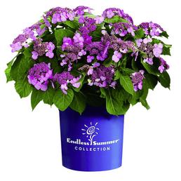 Hortensie macrophylla Hydrangea »Summer Love«