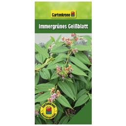 GARTENKRONE Immergrünes Geißblatt Lonicera henryi