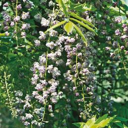GARTENKRONE Japanischer Blauregen, Wisteria floribunda »Viola Plena«, Blüten: violett