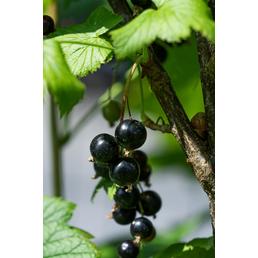 GARTENKRONE Johannisbeere, Ribes nigrum »Schwarz«, Blüten: weiß, Früchte: schwarz, süß