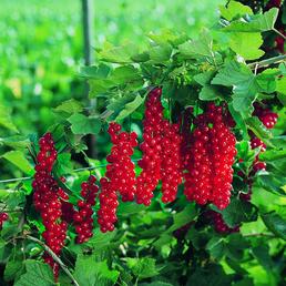 GARTENKRONE Johannisbeere, Ribes rubrum »Jonkheer V. Tets«, Blüten: weiß, Früchte: rot, säuerlich