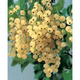 GARTENKRONE Johannisbeere Ribes rubrum »Weisse Versailler«