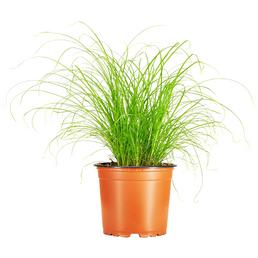 GARTENKRONE Katzengras, Cyperus zumula,