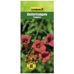 GARTENKRONE Klettertrompete, Campsis radicans »Flamenco«, orange, winterhart