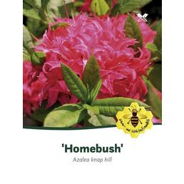 Laubabwerfende Azalee, Azalea luteum »Homebush«, rosa, Höhe: 40 - 50 cm
