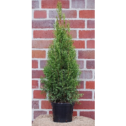 Lebensbaum occidentalis Thuja »Smaragd«