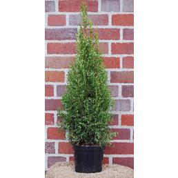 Lebensbaum Thuja occidentalis »Smaragd«