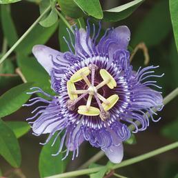 GARTENKRONE Passionsblume Passiflora caerulea »Purple Haze«