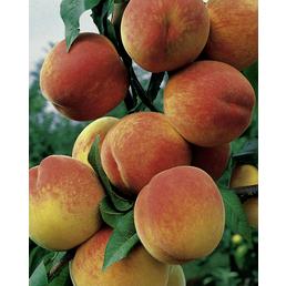 GARTENKRONE Pfirsich, Prunus persica »Kernecht. v. Vorgeb«, Früchte: süß, zum Verzehr geeignet