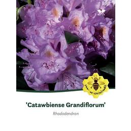 Rhododendron hybride »Catawbiense Grandiflorum«, lila, Höhe: 40 - 50 cm