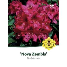Rhododendron »Nova Zembla«, rot, Höhe: 40 - 50 cm