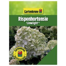 Rispenhortensie paniculata Hydrangea »Limelight -R-«