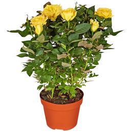 GARTENKRONE Rose, Rosa hybrid, Blüte: gelb