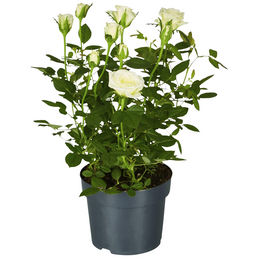 GARTENKRONE Rose, Rosa hybrid, Blüte: weiß